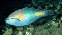 Scarus flavipectoralis, Yellowfin parrotfish: aquarium