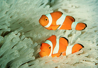 Amphiprion ocellaris, Clown anemonefish: aquarium