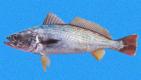 Cynoscion reticulatus, Striped weakfish: fisheries