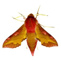 Deilephila porcellus - Small Elephant Hawk-moth