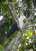 Black-backed Fruit Dove - Ptilinopus cinctus