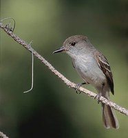 La Sagra's Flycatcher (Myiarchus sagrae) photo
