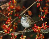 White-throated Sparrow (Zonotrichia albicollis) photo