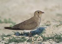 Collared Pratincole (Glareola pratincola) photo