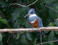 Ringed Kingfisher - Ceryle torquatus