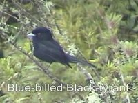 Blue-billed Black-Tyrant - Knipolegus cyanirostris