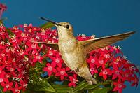 Black-chinned Hummingbird , in flight hovering over flower , Archilochus alexandri , Portal , Ar...