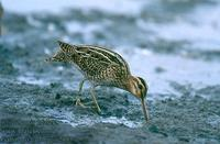 Gallinago gallinago 2193 UK: Snipe DE: Bekassine
