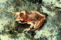 : Ascaphus truei; Western Tailed Frog