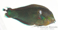 : Halichoeres marginatus