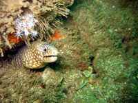 Muraena lentiginosa, Jewel moray: fisheries