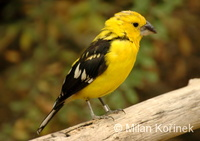 Pheucticus chrysopeplus - Yellow Grosbeak