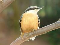 Sitta europaea - Wood Nuthatch