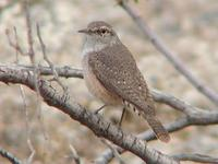 Image of: Salpinctes obsoletus (rock wren)