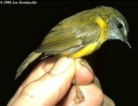 Yellow-bellied Warbler - Abroscopus superciliaris