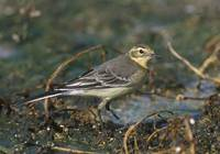 Citrine Wagtail (Motacilla citreola) photo