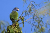 Blue-headed Parrot - Pionus menstruus