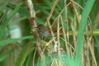 White-bellied Spinetail - Synallaxis propinqua