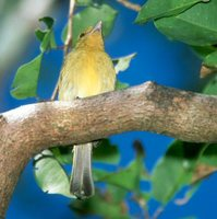 Yellow-breasted Flycatcher - Tolmomyias flaviventris