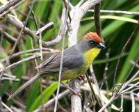 Rufous-capped Brush-Finch - Atlapetes pileatus