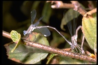 : Archilestes californica; Stalked-winged Damselfly