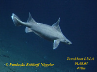Oxynotus paradoxus, Sailfin roughshark: fisheries