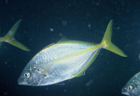 Pseudocaranx dentex, White trevally: fisheries, aquaculture, gamefish