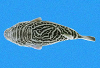 Guentheridia formosa, Spotted puffer:
