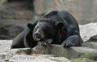 Ursus thibetanus - Asiatic Black Bear