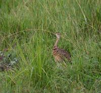Image of: Eupodotis melanogaster (black-bellied bustard)