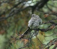 Image of: Myadestes townsendi (Townsend's solitaire)