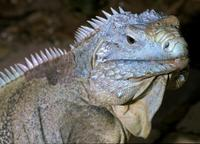 Image of: Cyclura lewisi (Grand Cayman rock iguana)
