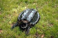 Macrochelys temminckii - Alligator Snapping Turtle