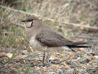 제비물떼새 Glareola maldivarum | Indian pratincole