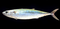 Grammatorcynus bilineatus, Double-lined mackerel: fisheries, gamefish