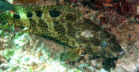 Epinephelus spilotoceps, Foursaddle grouper: fisheries, gamefish