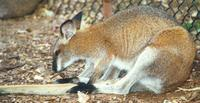 Image of: Macropus dorsalis (black-striped wallaby)
