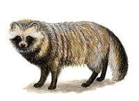 Image of: Nyctereutes procyonoides (raccoon dog)