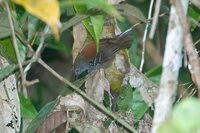 Stipple-throated Antwren - Myrmotherula haematonota