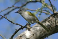 Green-tailed Warbler - Microligea palustris