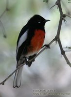 Painted Redstart - Myioborus pictus