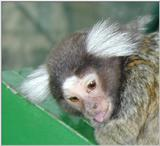 tiny monkey --> Common Marmoset (Callithrix jacchus)