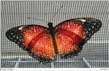 Cethosia biblis (Red Lacewing)