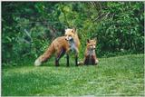 Edwards Gardens 0527 - Red Foxes (Vulpes vulpes)