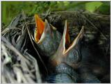 Common blackbird chicks - amsel 4
