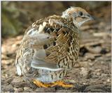 tiny quails