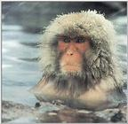 Snow monkey (repost) - 0805picg crop.JPG