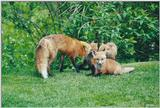 Red Foxes 0909