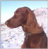 Re: Irish Red Setter: Nellie