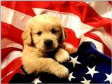Animals - 1024 - American Puppy.jpg - File 02 of 25 (1/1)